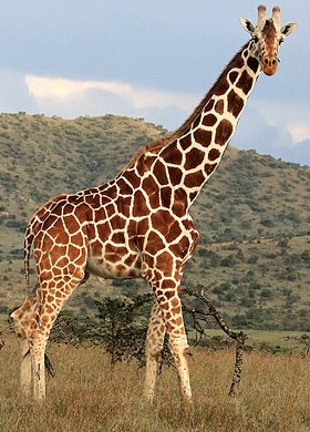 African Giraffe Facts For Kids