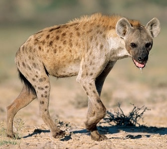 AFRICAN HYENA FACTS